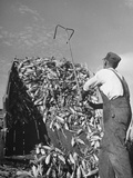 A Farmer Unloading a Truckful of Sweet Corn