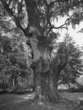 A Live Oak Tree with Spanish Moss Hanging from Them