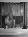 Monkey Undergoing Experiments at Wisconsin University