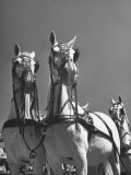 A View of the Army Remount Service's Parade of Horses