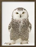 A Female Snowy Owl  Bubo Scandiacus  at Raptor Recovery Nebraska