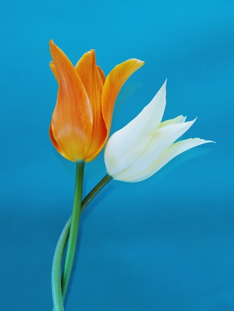 Orange and White Tulips Stretched Canvas Print