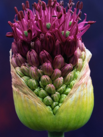 Alium Bud Stretched Canvas Print