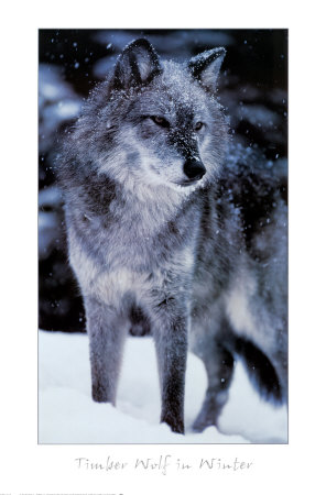 Timber Wolf Print at Art.