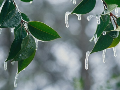 Ice Hanging from Leaves Stretched Canvas Print