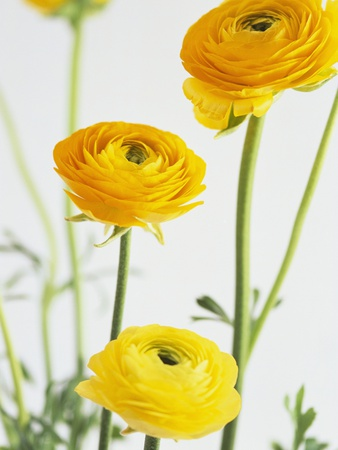 Yellow Ranunculus Stretched Canvas Print
