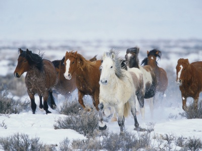 Wild Horses in Snow Stretched Canvas Print