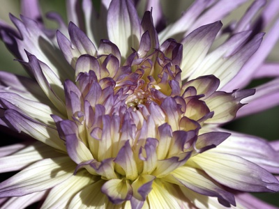 Chrysanthemum in Bloom Stretched Canvas Print