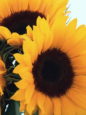 Bunch of Sunflowers Stretched Canvas Print