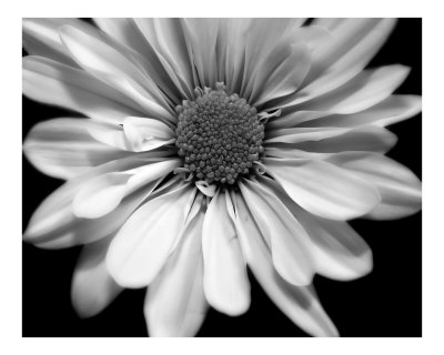 Flower In Black And White Photographic Print. zoom. view in room