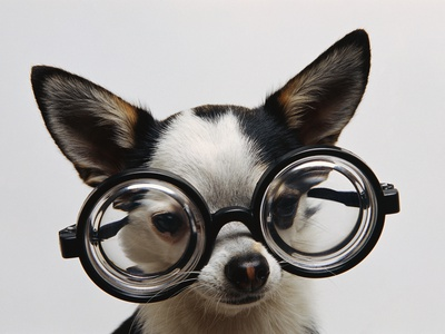 Chihuahua Wearing Eyeglasses Stretched Canvas Print