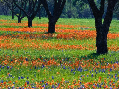 Field of Bluebonnets and Indian Paintbrush Stretched Canvas Print