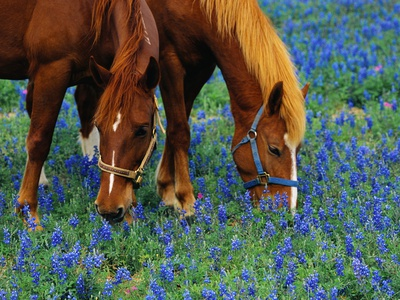 Horses Grazing Among Bluebonnets Stretched Canvas Print