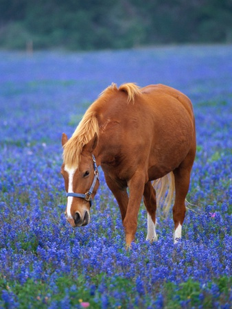 Horse Standing Among Bluebonnets Stretched Canvas Print