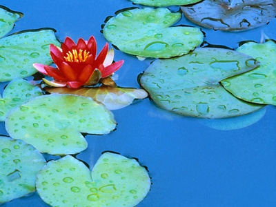 Lily Pads and Flower Blossom Stretched Canvas Print