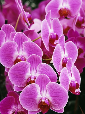 Pink Orchids Stretched Canvas Print