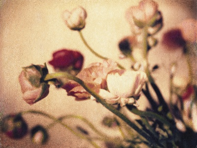 Ranunculus No.2 Stretched Canvas Print