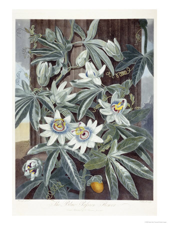 Passion Flowers Stretched Canvas Print