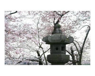 cherry blossom japanese art. Washington DC Cherry Blossom
