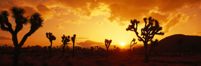 Sunset, Joshua Tree Park, California, USA Stretched Canvas Print