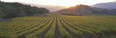 Sunset, Vineyard, Napa Valley, California, USA Stretched Canvas Print