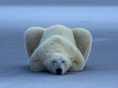 A portrait of a sleeping polar bear Stretched Canvas Print