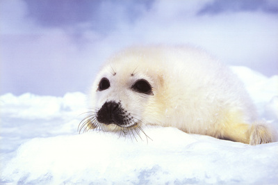 of baby seals at any time
