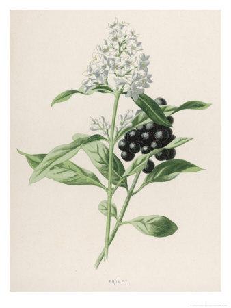 Privet Giclee Print