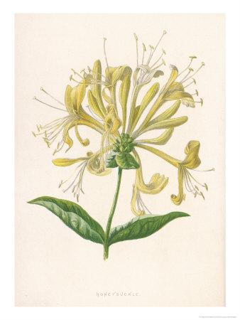 Honeysuckle Giclee Print