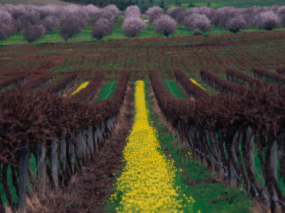 Vineyards and Almond Trees in the Mclaren Vale District, Australia Stretched Canvas Print