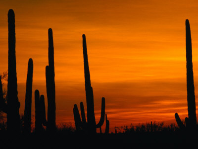 Sunset Over Cacti, Saguaro National Park, USA Photographic Print by Brent