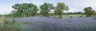 Field of Bluebonnet Flowers, Texas, USA Stretched Canvas Print
