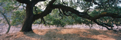 Oak Tree on a Field, Sonoma County, California, USA Stretched Canvas Print