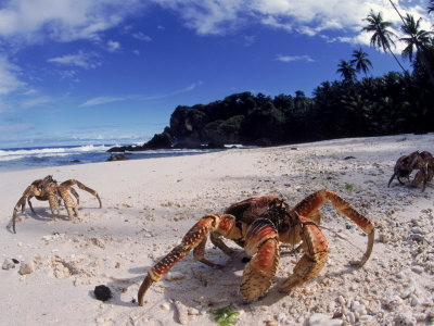 Coconut Crabs on Beach, Christmas Island Stretched Canvas Print