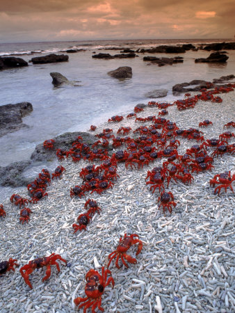 Christmas Island Red Crabs, on the Shore, Indian Ocean, Australia Stretched Canvas Print