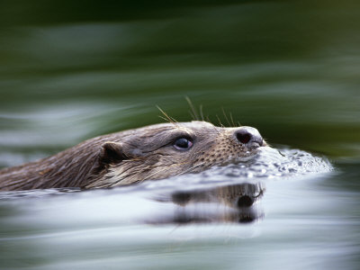 European River Otter Swimming, Otterpark Aqualutra, Leeuwarden, Netherlands Stretched Canvas Print