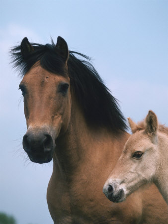 Domestic Horse, Dulmen Pony, Mare with Foal, Europe Premium Poster ...