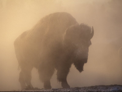 Bison, Bull Silhouetted in Dawn Mist, Yellowstone National Park, USA Stretched Canvas Print