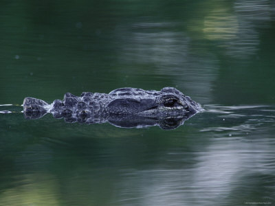 American Alligator Submerged, Sanibel Is, Florida, USA Stretched Canvas Print
