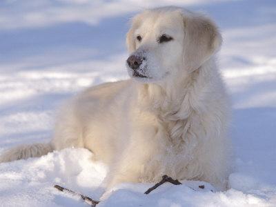 golden retriever. Golden Retriever Lying in Snow
