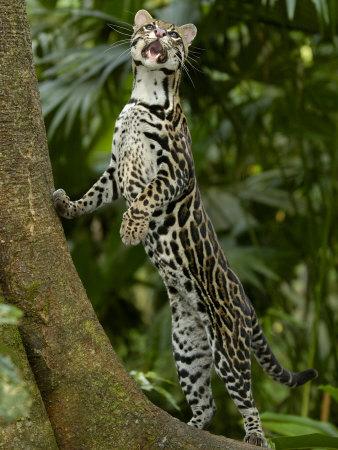 Amazon rainforest ocelot - photo#13