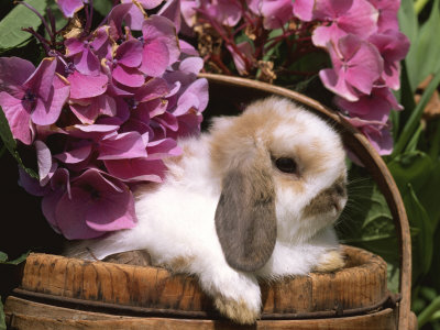 Bunny, lop rabbit holland, lop, eared, rabbit, rabbits, smallerbreeding
