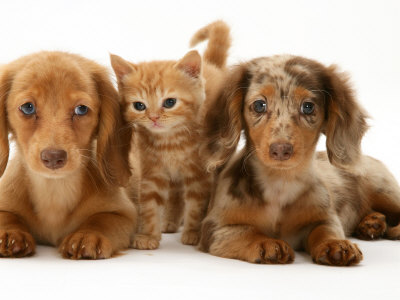 Miniature Long-Haired Dachshund Puppies with British Shorthair Red Tabby
