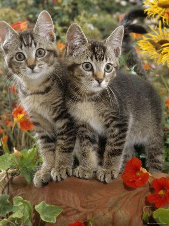short hair tabby kitten. 10-Week, Short-Haired Ticked