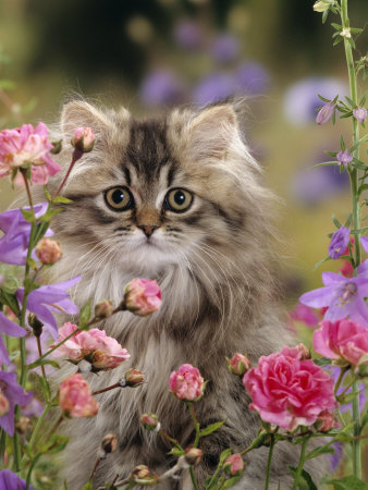 photos of Domestic longhaired cat