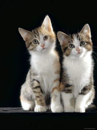 Domestic Cat, Two 8-Week Tabby Tortoiseshell and White Kittens Photographic