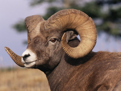 Rocky Mountain Bighorn Sheep, Ram, Jasper National Park, Alberta, USA Stretched Canvas Print