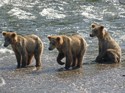 Three Grizzly Bear, Cubs