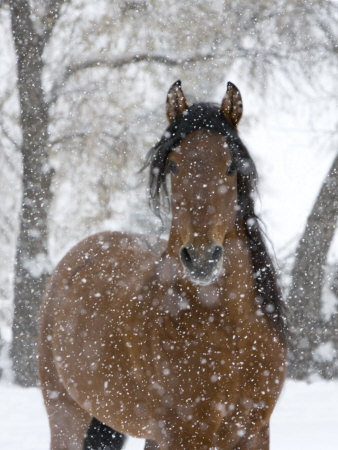 Bay Andalusian Stallion Portrait with Falling Snow, Longmont, Colorado, USA Stretched Canvas Print