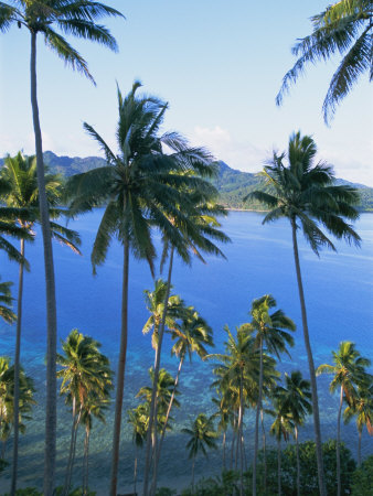 palm trees background. Palm Trees at Matangi Island,